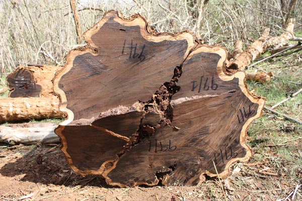Blackwood log